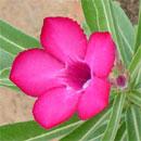Adenium Hybrids