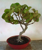 seagrape plant