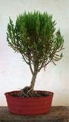 junipperus
